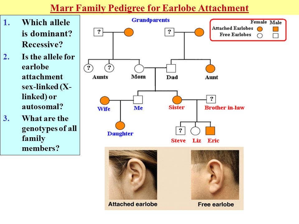 Marr Family Pedigree for Earlobe Attachment 1.Which allele is dominant.