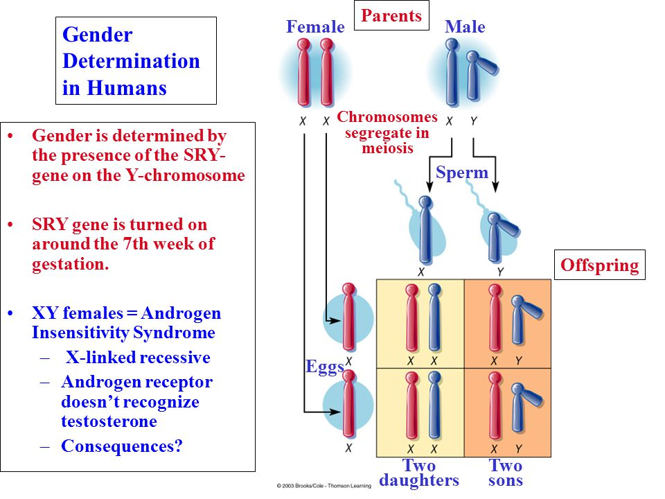 Sperm Parents MaleFemale Chromosomes segregate in meiosis Offspring Eggs Two daughters Two sons Gender Determination in Humans Gender is determined by the presence of the SRY- gene on the Y-chromosome SRY gene is turned on around the 7th week of gestation.