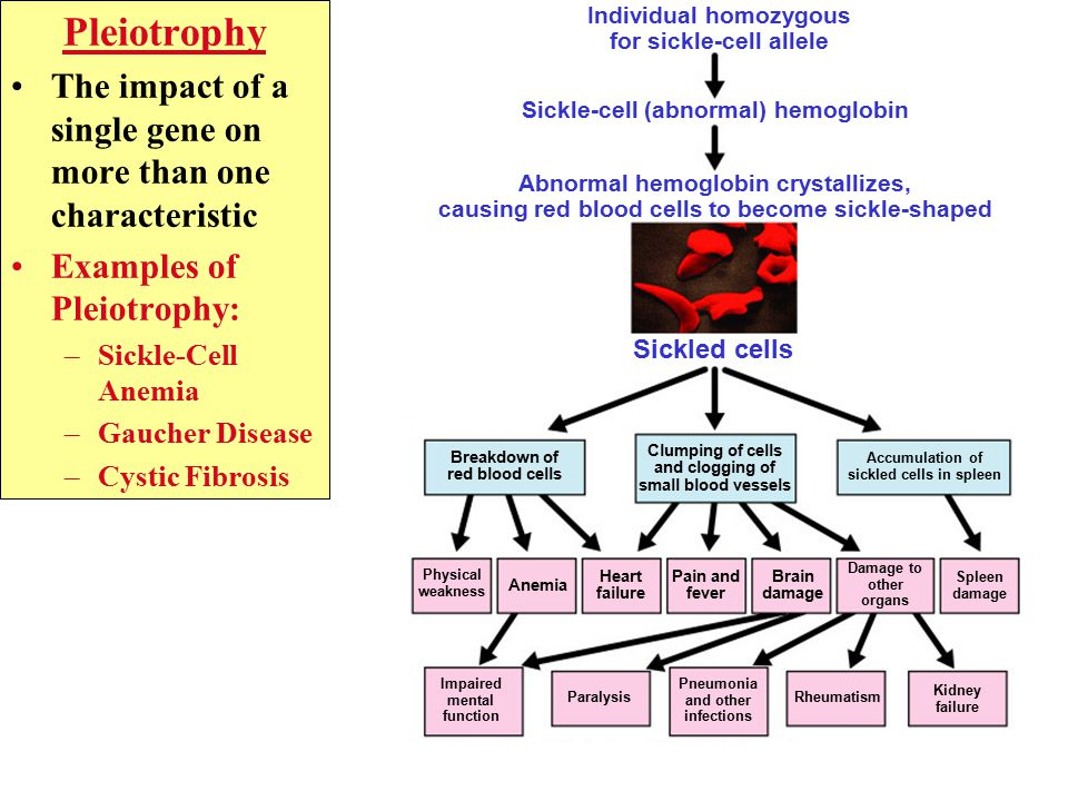 Individual homozygous for sickle-cell allele Sickle-cell (abnormal) hemoglobin Abnormal hemoglobin crystallizes, causing red blood cells to become sickle-shaped Sickled cells Breakdown of red blood cells Accumulation of sickled cells in spleen Physical weakness Anemia Heart failure Pain and fever Brain damage Damage to other organs Clumping of cells and clogging of small blood vessels Spleen damage Impaired mental function Paralysis Pneumonia and other infections Rheumatism Kidney failure Pleiotrophy The impact of a single gene on more than one characteristic Examples of Pleiotrophy: –Sickle-Cell Anemia –Gaucher Disease –Cystic Fibrosis
