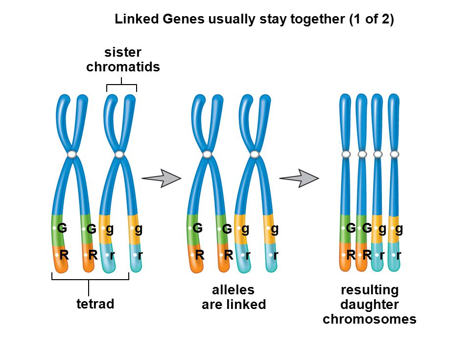 tetrad Linked Genes usually stay together (1 of 2) G G RR gg rr G G RR gg rr G R G R g r g r sister chromatids alleles are linked resulting daughter chromosomes