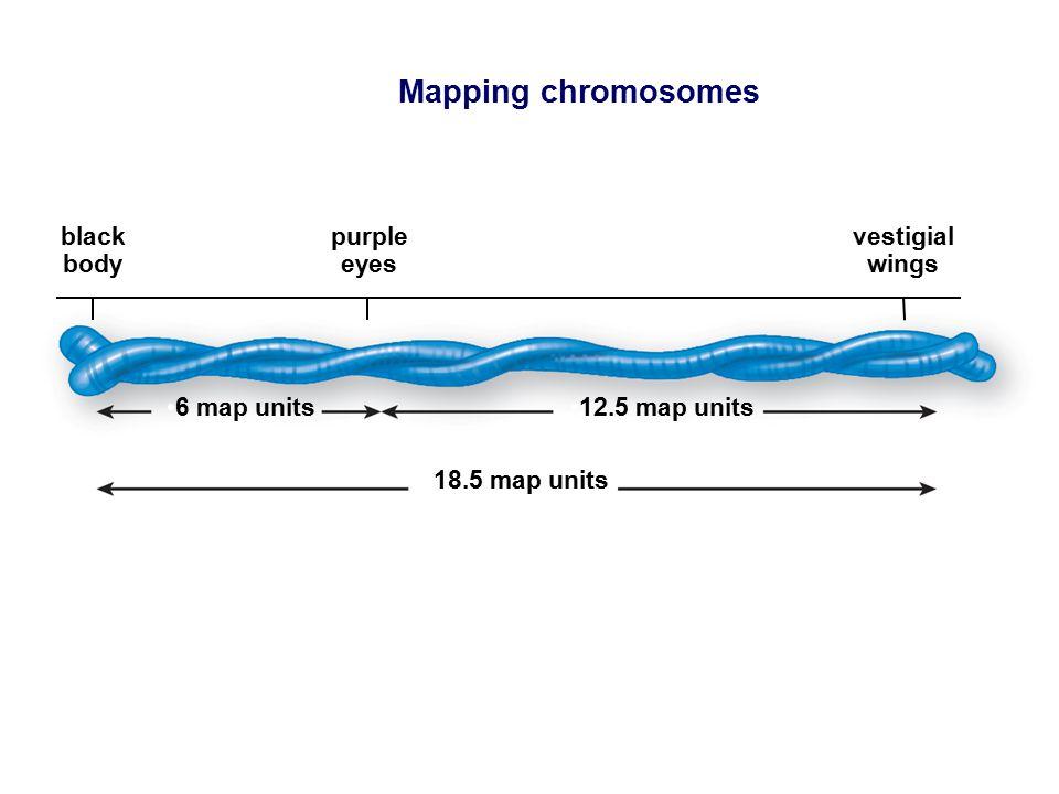 Mapping chromosomes 6 map units12.5 map units 18.5 map units black body purple eyes vestigial wings