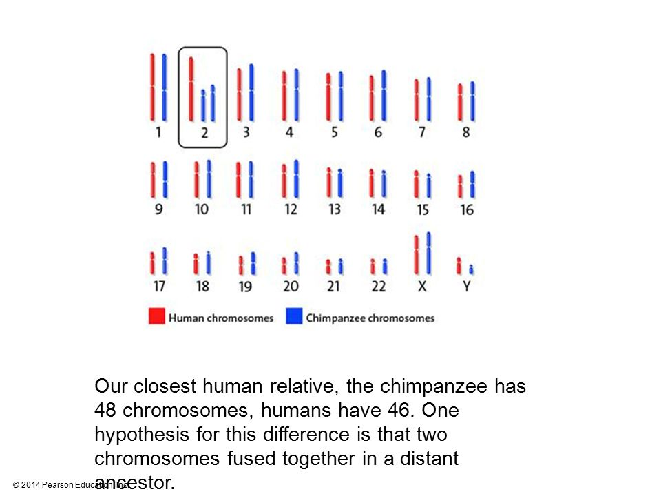 © 2014 Pearson Education, Inc. Our closest human relative, the chimpanzee has 48 chromosomes, humans have 46. One hypothesis for this difference is th