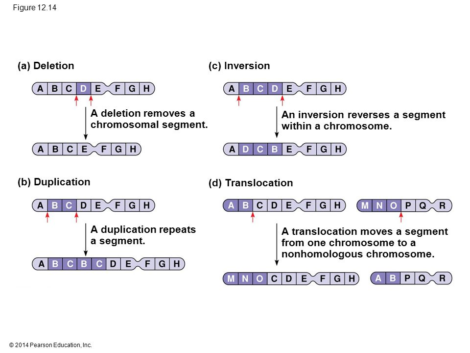 © 2014 Pearson Education, Inc. Figure 12.14 (a) Deletion(c) Inversion A deletion removes a chromosomal segment. (b) Duplication (d) Translocation An i