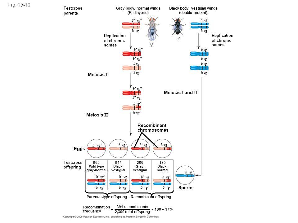 Fig. 15-10 Testcross parents Replication of chromo- somes Gray body, normal wings (F 1 dihybrid) Black body, vestigial wings (double mutant) Replicati