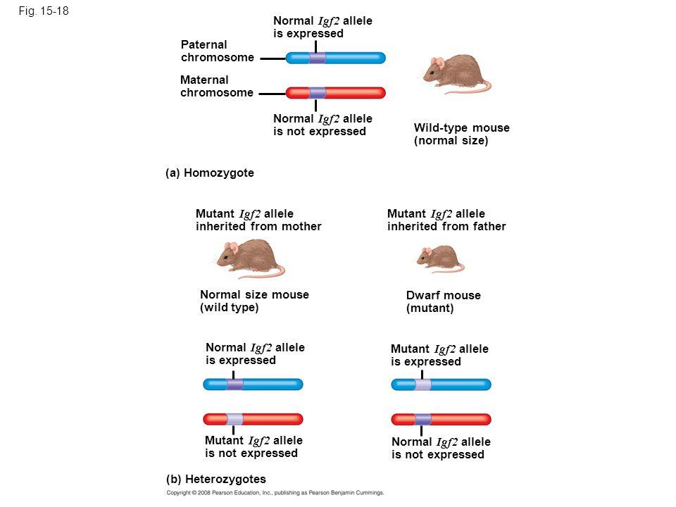 Fig. 15-18 Normal Igf2 allele is expressed Paternal chromosome Maternal chromosome Normal Igf2 allele is not expressed Mutant Igf2 allele inherited fr