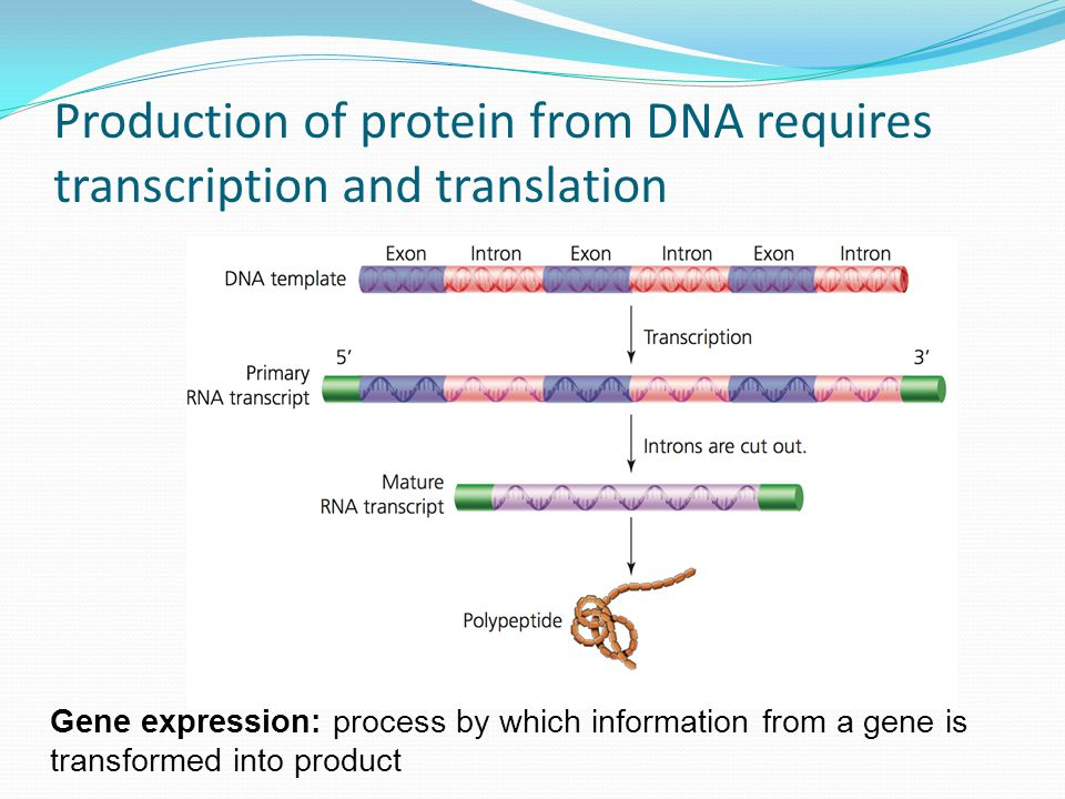 Production of protein from DNA requires transcription and translation Gene expression: process by which information from a gene is transformed into product