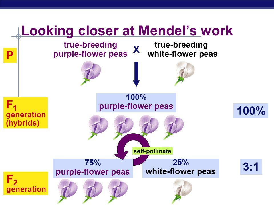 AP Biology F 2 generation 3:1 75% purple-flower peas 25% white-flower peas Looking closer at Mendel's work P 100% F 1 generation (hybrids) 100% purple-flower peas X true-breeding purple-flower peas true-breeding white-flower peas self-pollinate