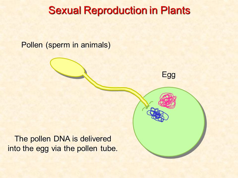 Egg The pollen DNA is delivered into the egg via the pollen tube.