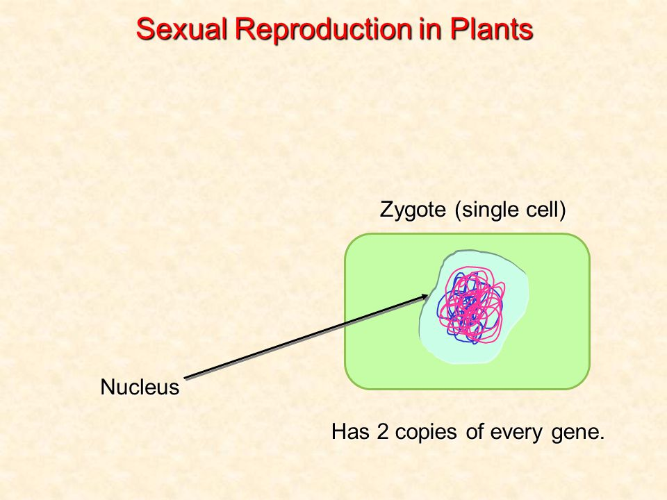 Zygote (single cell) Nucleus Sexual Reproduction in Plants Has 2 copies of every gene.