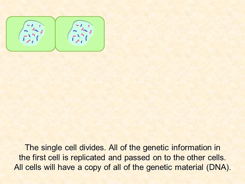 The single cell divides.