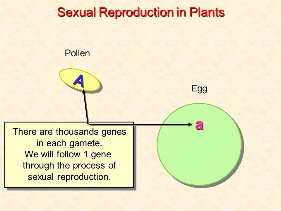 AA Pollen Egg There are thousands genes in each gamete.