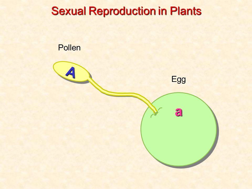 Pollen Egg a AA