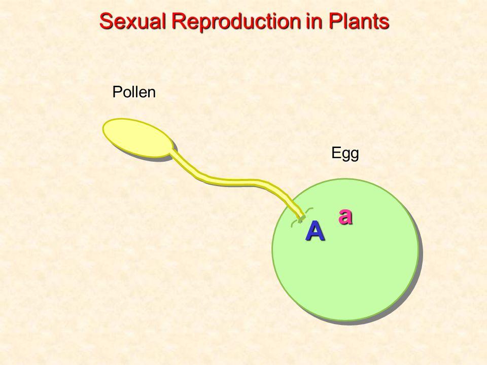 Pollen Egg a A