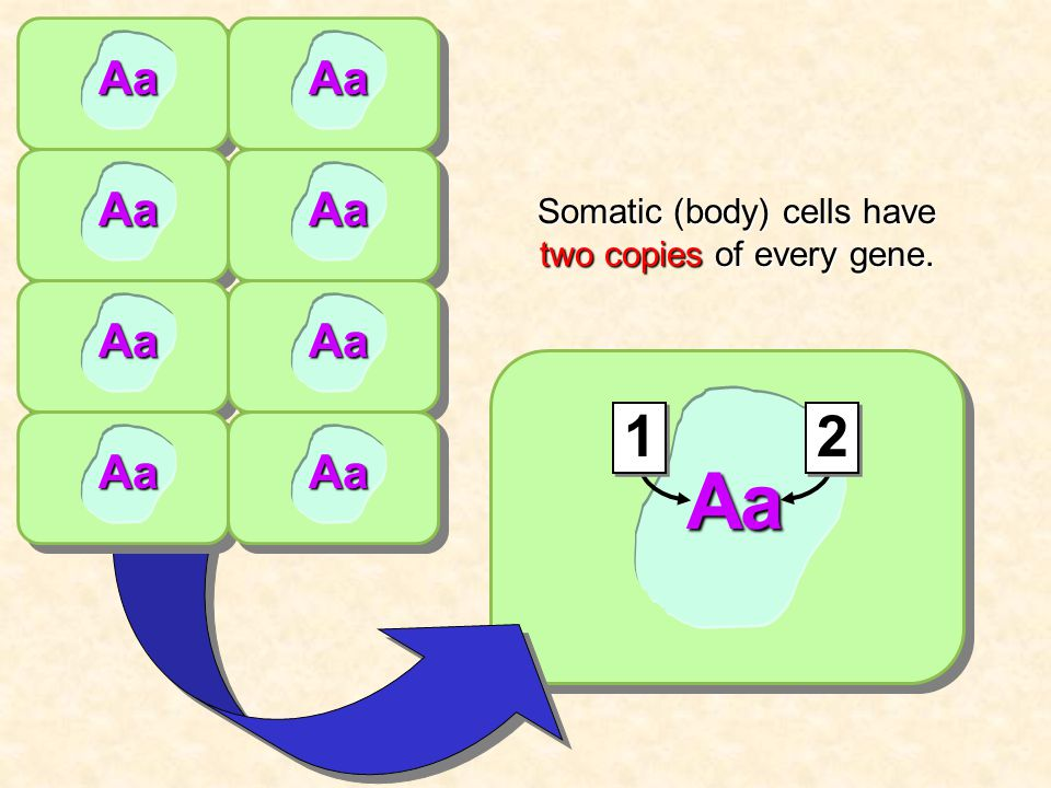 AaAa Aa Aa Aa Aa Aa Aa Aa Somatic (body) cells have two copies of every gene. 12