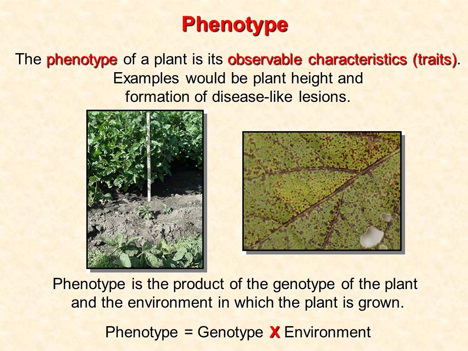 Phenotype The phenotype of a plant is its observable characteristics (traits).