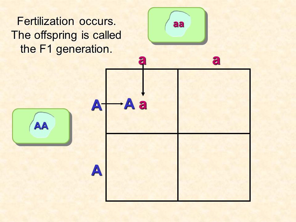aa AA aa A A Fertilization occurs. The offspring is called the F1 generation. Aa