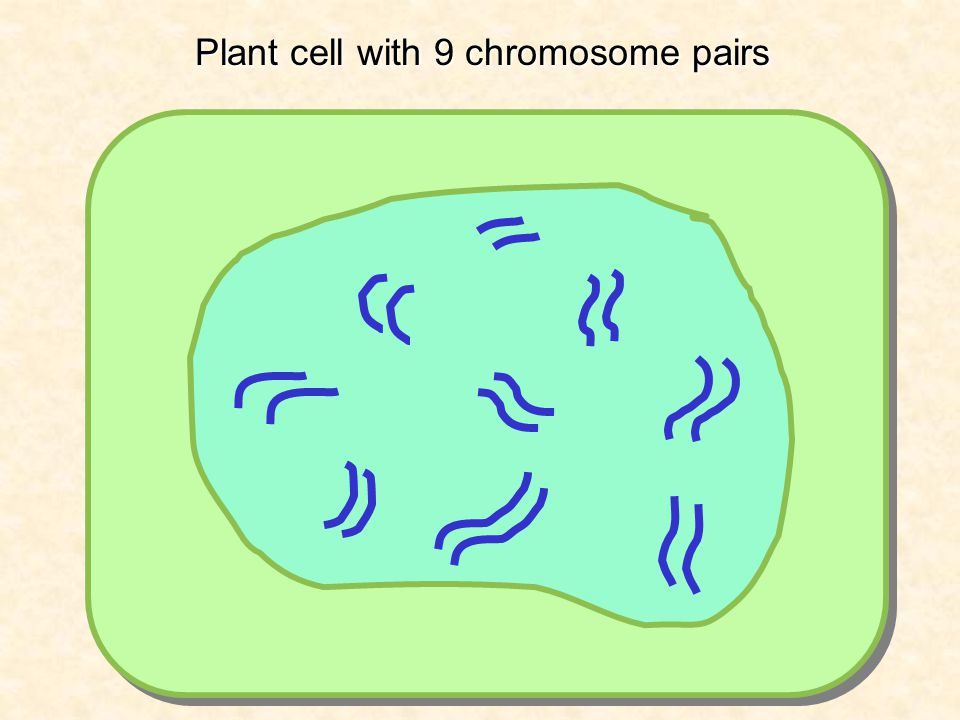 Plant cell with 9 chromosome pairs