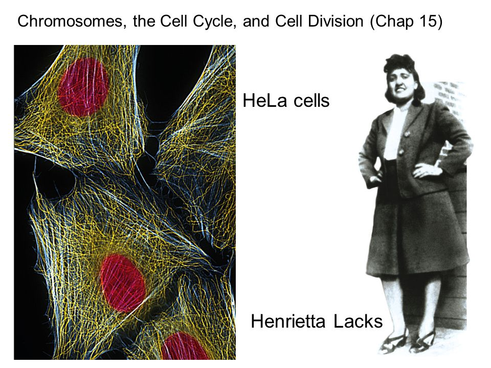 Chromosomes, the Cell Cycle, and Cell Division (Chap 15) HeLa cells Henrietta Lacks