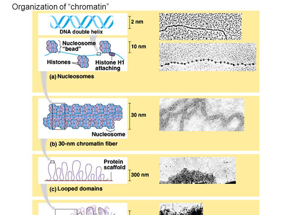 Organization of chromatin