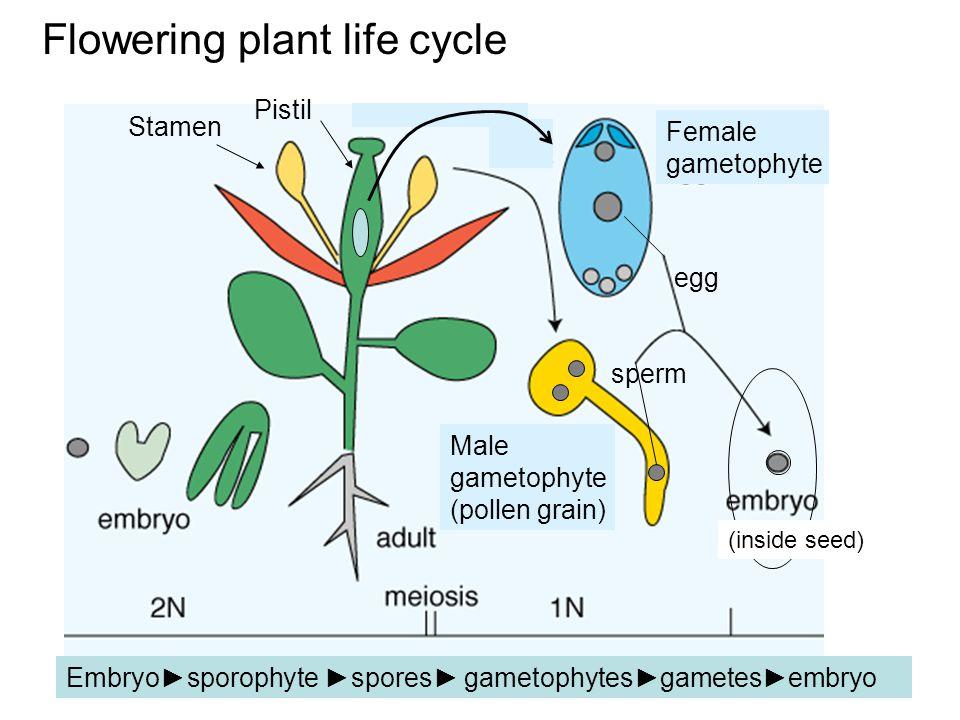 Flowering plant life cycle (inside seed) egg sperm Female gametophyte Male gametophyte (pollen grain) Embryo►sporophyte ►spores► gametophytes►gametes►embryo Stamen Pistil