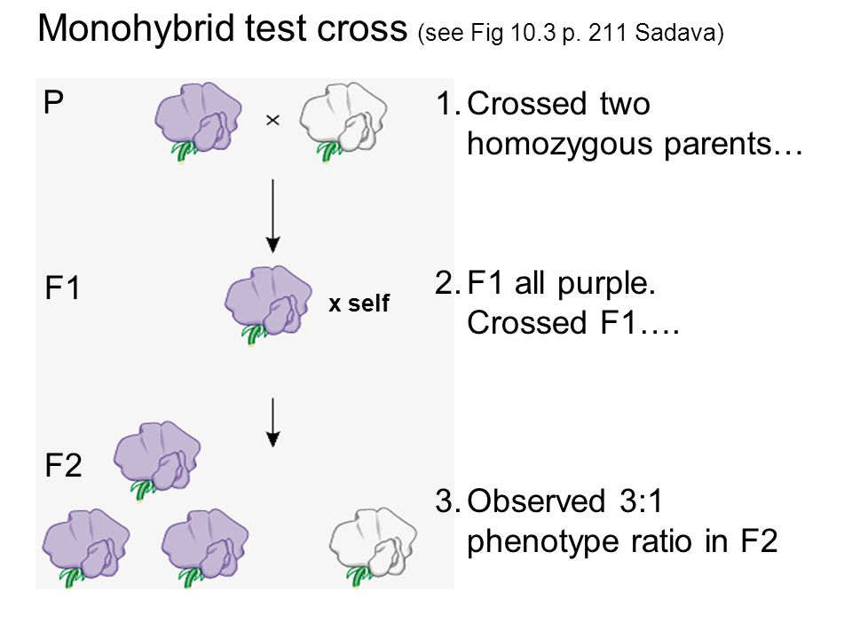 Monohybrid test cross (see Fig 10.3 p.