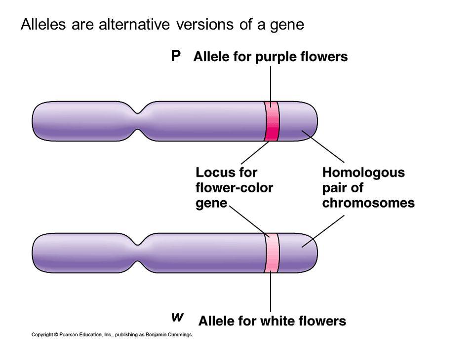 Alleles are alternative versions of a gene P w