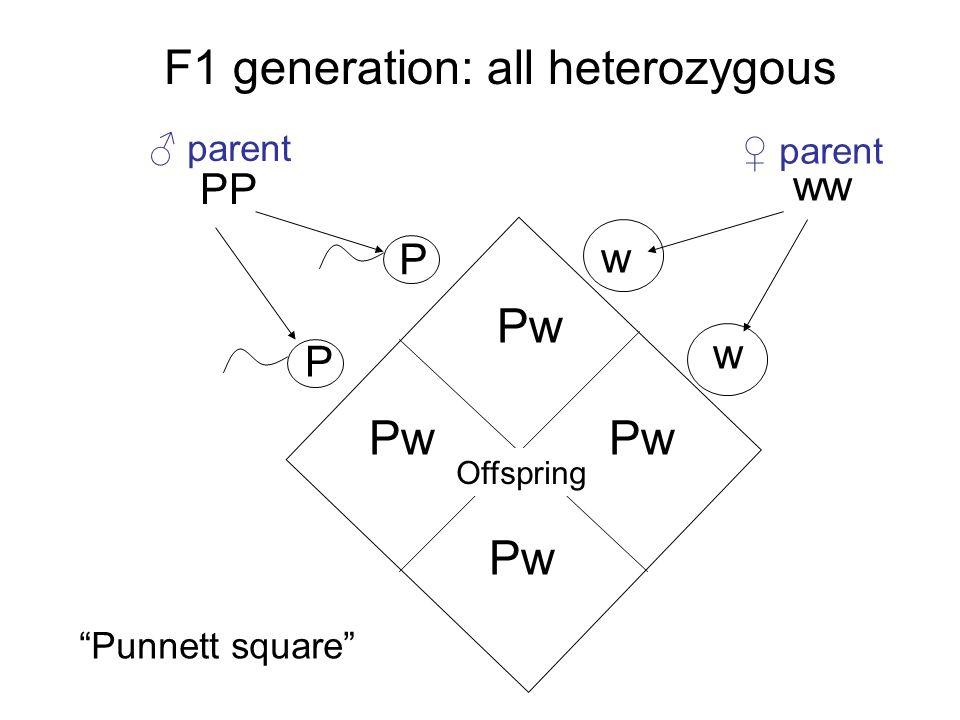 P P PP w w ww Pw F1 generation: all heterozygous Punnett square ♂ parent ♀ parent Offspring