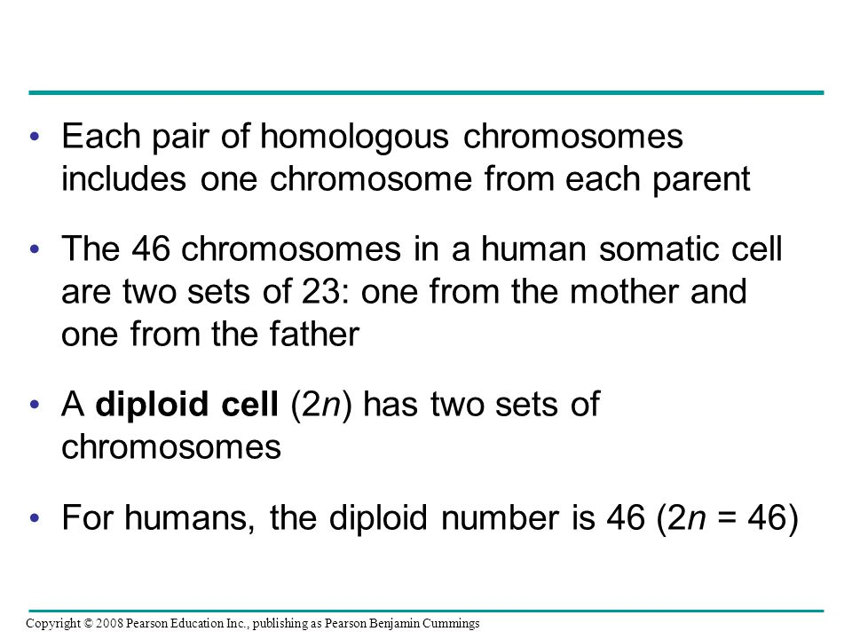 Each pair of homologous chromosomes includes one chromosome from each parent The 46 chromosomes in a human somatic cell are two sets of 23: one from t