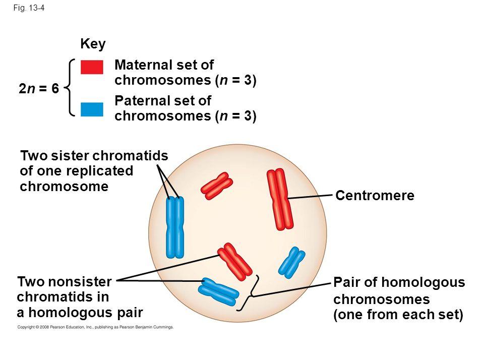 Fig. 13-4 Key Maternal set of chromosomes (n = 3) Paternal set of chromosomes (n = 3) 2n = 6 Centromere Two sister chromatids of one replicated chromo