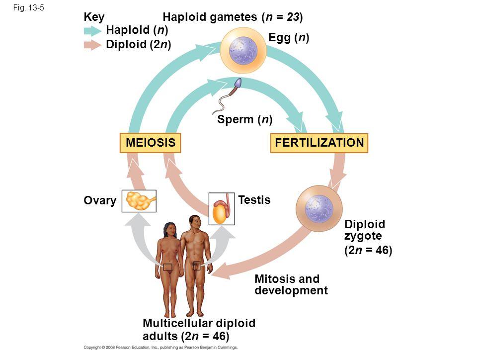 Fig. 13-5 Key Haploid (n) Diploid (2n) Haploid gametes (n = 23) Egg (n) Sperm (n) MEIOSISFERTILIZATION Ovary Testis Diploid zygote (2n = 46) Mitosis a
