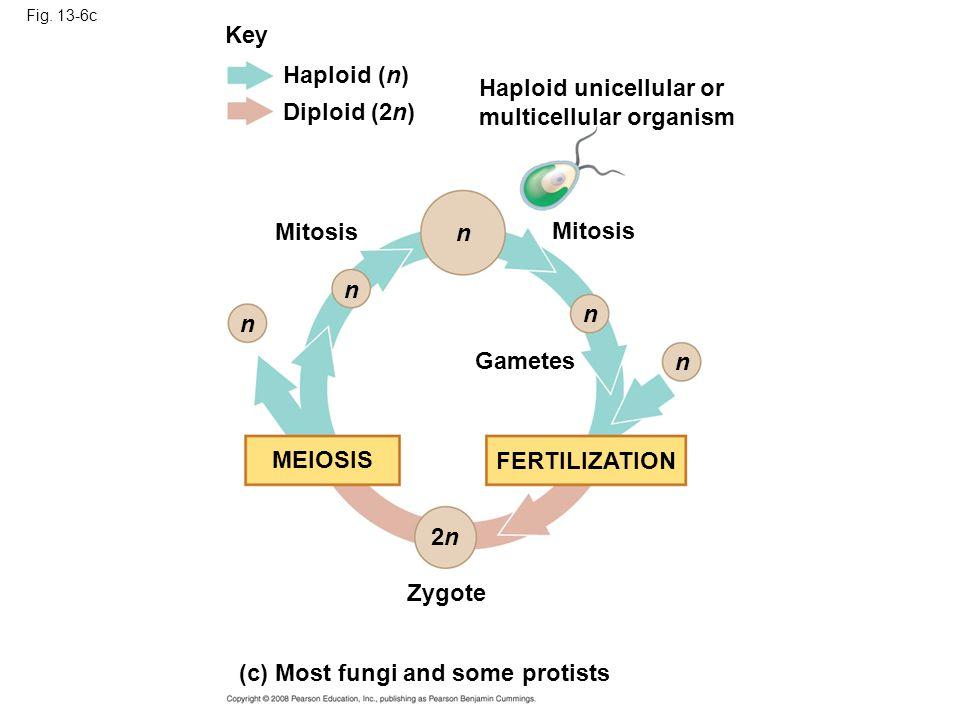 Fig. 13-6c Key Haploid (n) Diploid (2n) Mitosis Gametes Zygote Haploid unicellular or multicellular organism MEIOSIS FERTILIZATION n n n n n 2n2n (c)