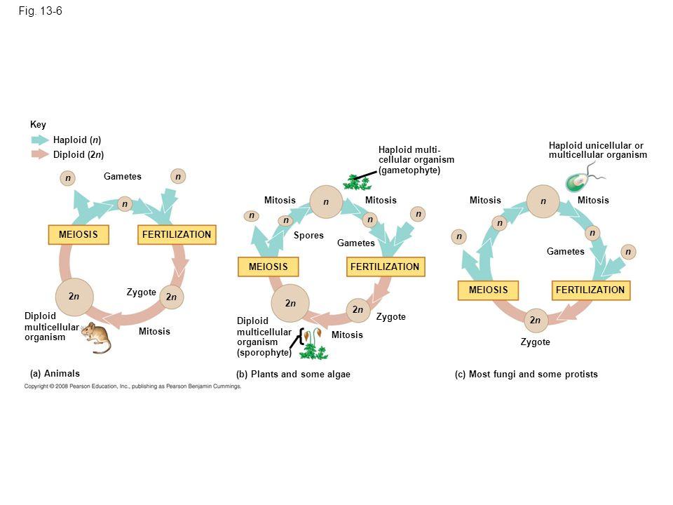 Fig. 13-6 Key Haploid (n) Diploid (2n) n n Gametes n n n Mitosis MEIOSIS FERTILIZATION MEIOSIS 2n2n 2n2n Zygote 2n2n Mitosis Diploid multicellular org