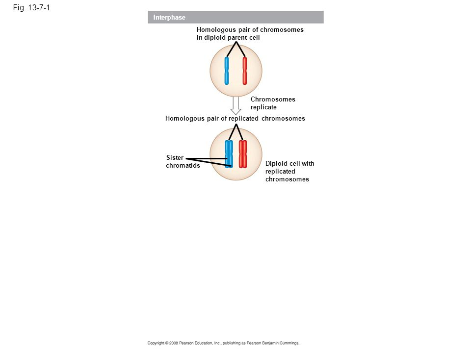Fig. 13-7-1 Interphase Homologous pair of chromosomes in diploid parent cell Chromosomes replicate Homologous pair of replicated chromosomes Sister ch