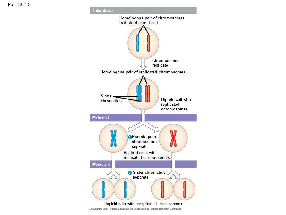 Fig. 13-7-3 Interphase Homologous pair of chromosomes in diploid parent cell Chromosomes replicate Homologous pair of replicated chromosomes Sister ch