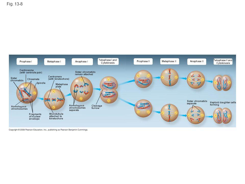 Fig. 13-8 Prophase I Metaphase I Anaphase I Telophase I and Cytokinesis Prophase II Metaphase IIAnaphase II Telophase II and Cytokinesis Centrosome (w