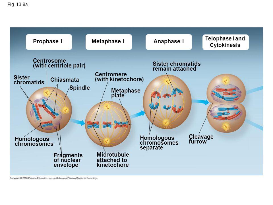 Metaphase I Fig. 13-8a Prophase IAnaphase I Telophase I and Cytokinesis Centrosome (with centriole pair) Sister chromatids Chiasmata Spindle Homologou