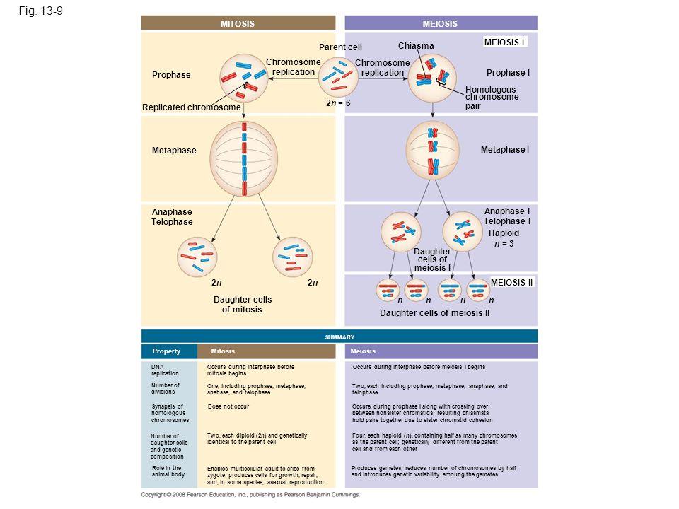 Fig. 13-9 MITOSISMEIOSIS MEIOSIS I Prophase I Chiasma Homologous chromosome pair Chromosome replication Parent cell 2n = 6 Chromosome replication Repl