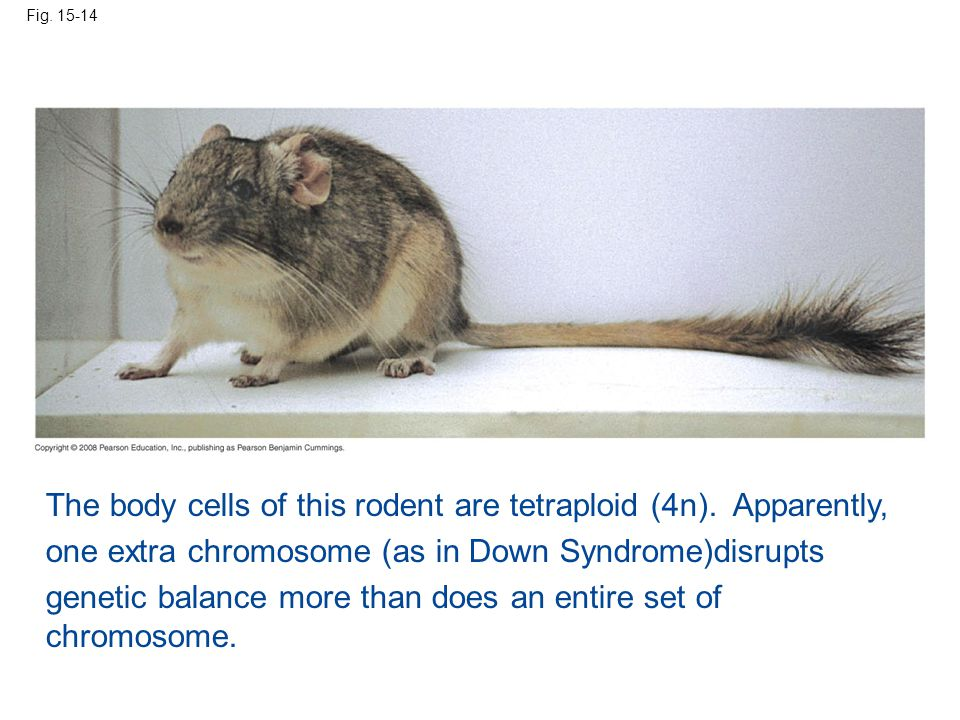 Fig. 15-14 The body cells of this rodent are tetraploid (4n). Apparently, one extra chromosome (as in Down Syndrome)disrupts genetic balance more than