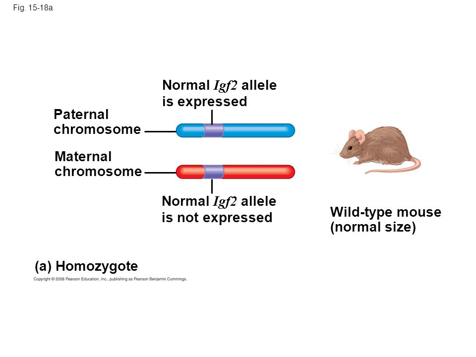 Fig. 15-18a Normal Igf2 allele is expressed Paternal chromosome Maternal chromosome (a) Homozygote Wild-type mouse (normal size) Normal Igf2 allele is