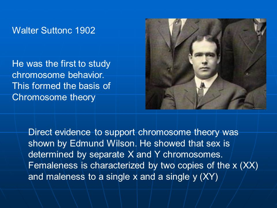 Walter Suttonc 1902 He was the first to study chromosome behavior.