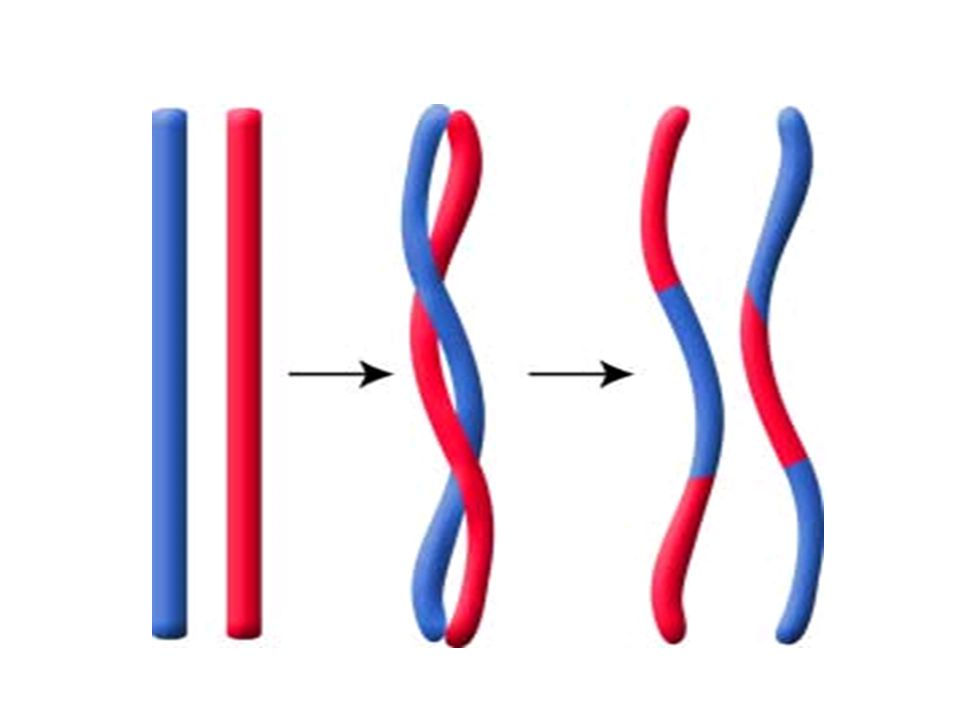 3.Meiosis II- The two cells produced by meiosis I now enter a second meiotic division.