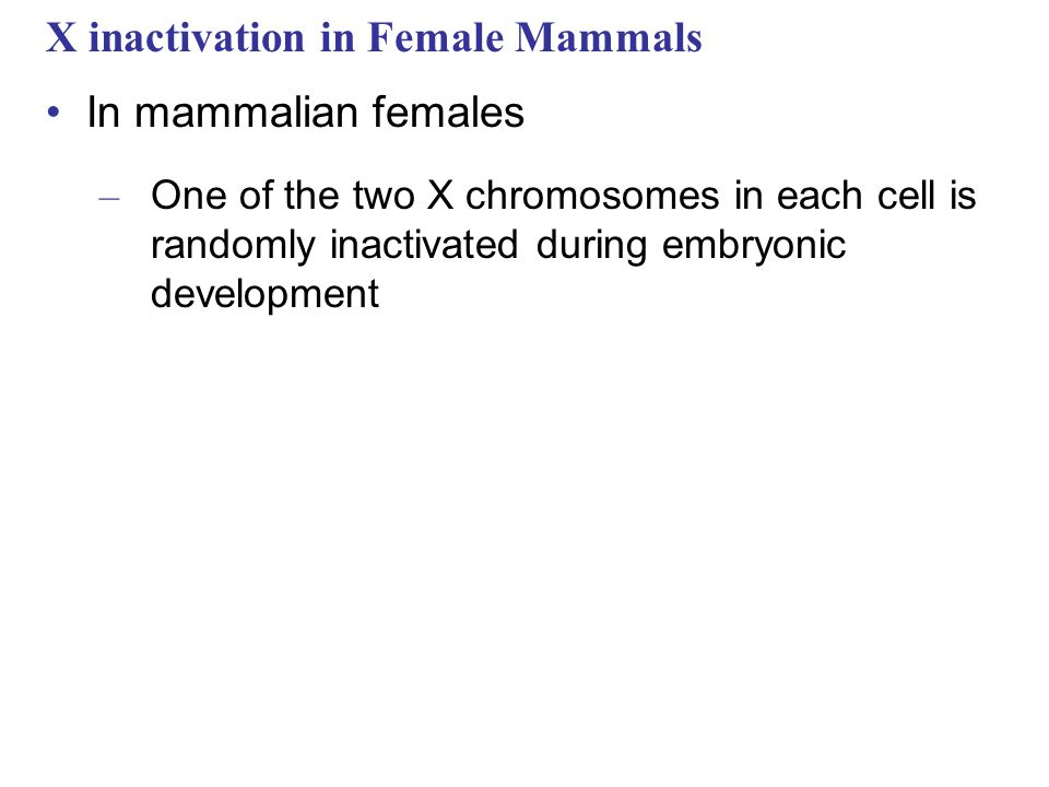 X inactivation in Female Mammals In mammalian females – One of the two X chromosomes in each cell is randomly inactivated during embryonic development
