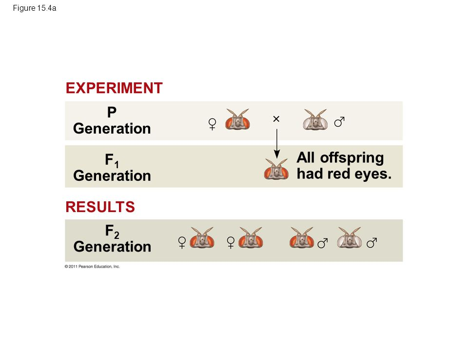 Figure 15.4a All offspring had red eyes. P Generation F 1 Generation F 2 Generation RESULTS EXPERIMENT