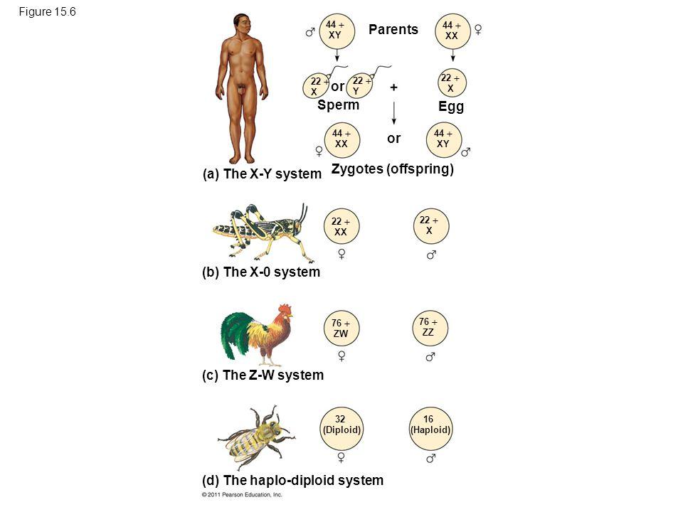 Figure 15.6 Parents or Sperm or Egg Zygotes (offspring) 44  XY 44  XX 22  X 22  Y 22  X 44  XX 44  XY 22  XX 22  X 76  ZW 76  ZZ 32 (Diploi