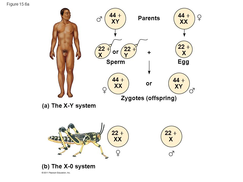 Figure 15.6a Parents or Sperm or Egg Zygotes (offspring) 44  XY 44  XX 22  X 22  Y 22  X 44  XX 44  XY 22  XX 22  X (a) The X-Y system (b) Th