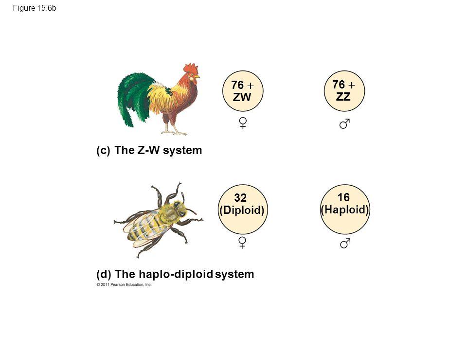 Figure 15.6b 76  ZW 76  ZZ 32 (Diploid) 16 (Haploid) (c) The Z-W system (d) The haplo-diploid system