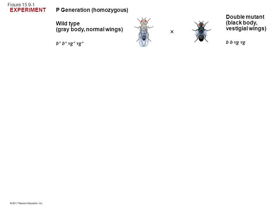 Figure 15.9-1 P Generation (homozygous) Wild type (gray body, normal wings) b  b  vg  vg  b b vg vg Double mutant (black body, vestigial wings) EX