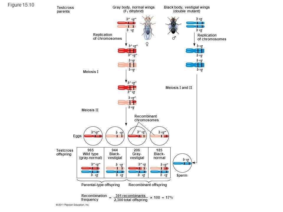 Figure 15.10 Testcross parents Replication of chromosomes Gray body, normal wings (F 1 dihybrid) Black body, vestigial wings (double mutant) Replicati