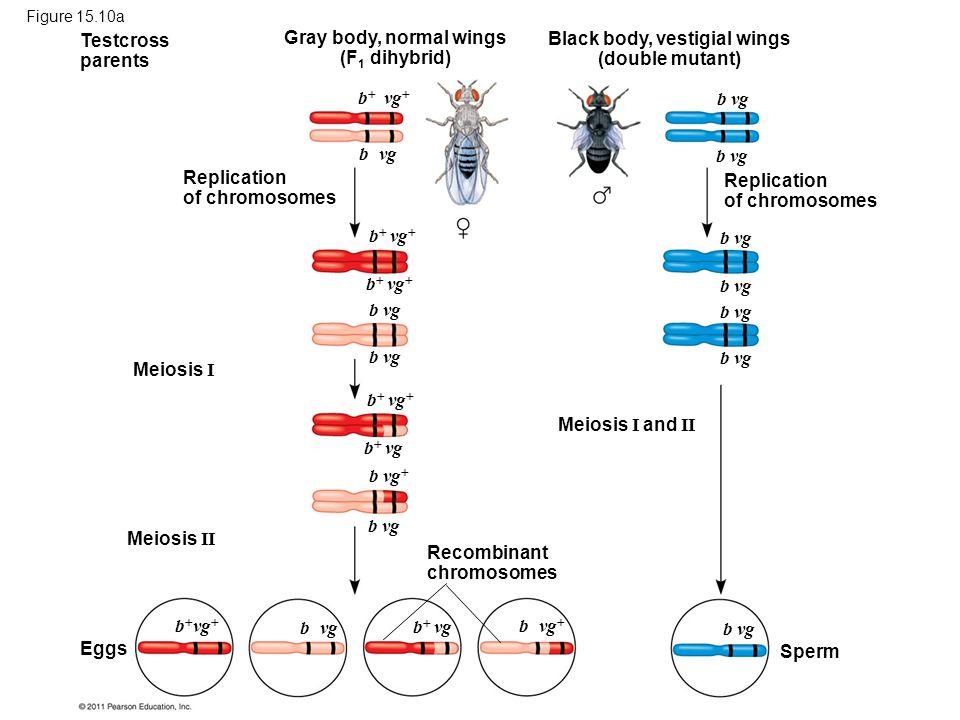 Figure 15.10a Testcross parents Replication of chromosomes Gray body, normal wings (F 1 dihybrid) Black body, vestigial wings (double mutant) Replicat