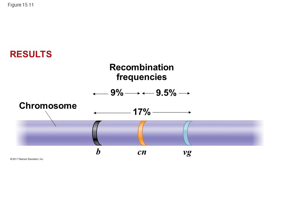 Figure 15.11 Chromosome Recombination frequencies 9% 9.5% 17% b cn vg RESULTS